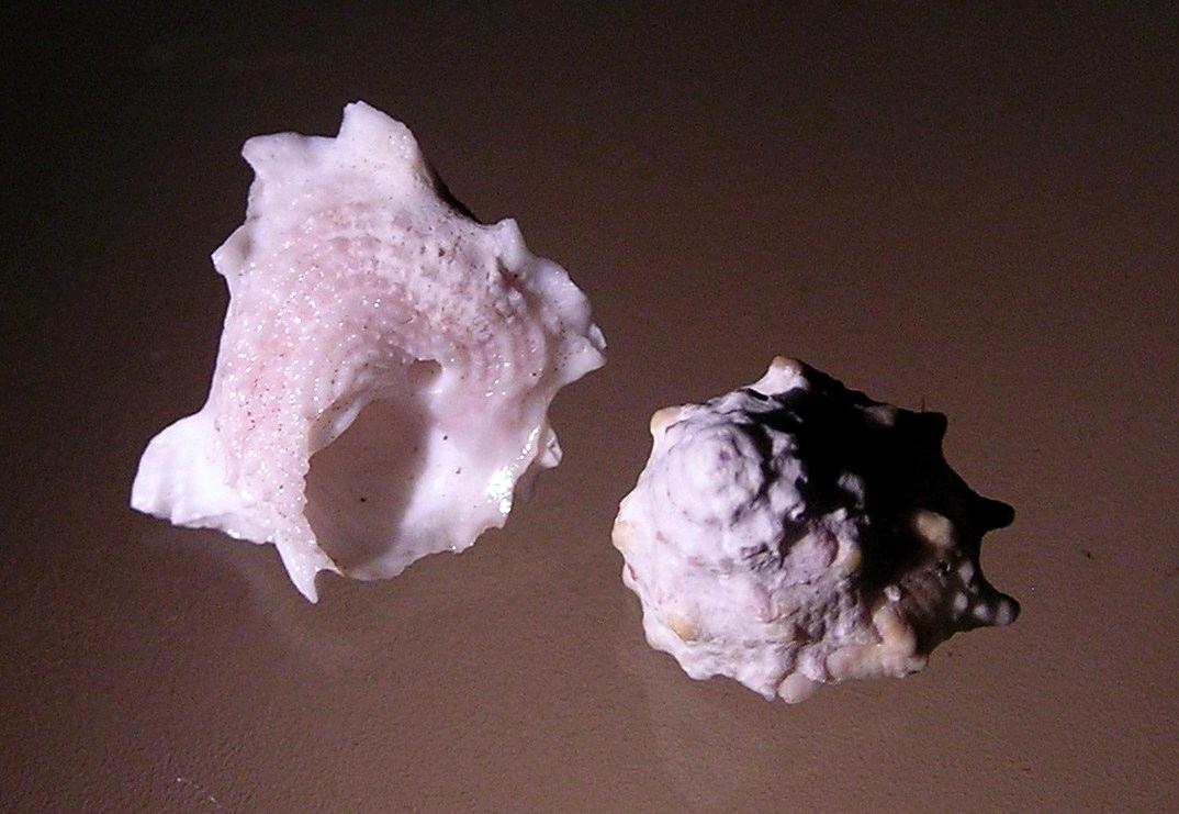 astralium mactanense 003.jpg