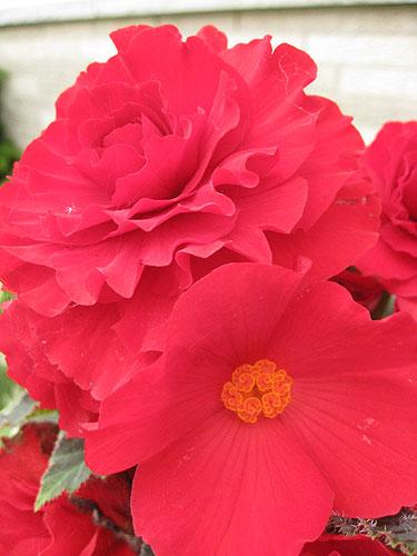 File:Begonia blossoms maleandfemale.jpg