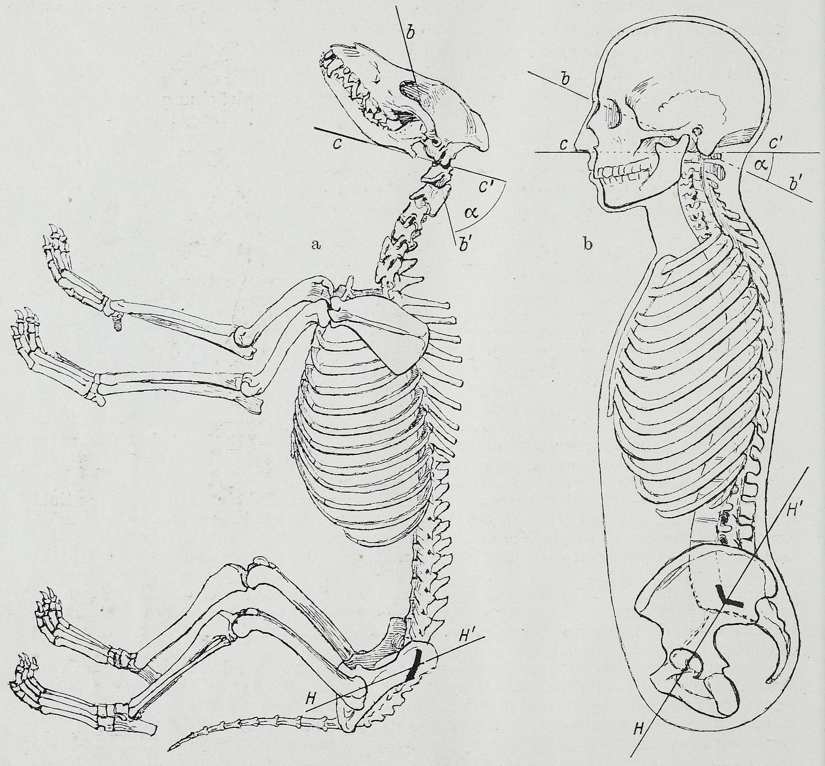 worksheet Comparative Anatomy Worksheet comparative anatomy filebraus 1921 80 png source