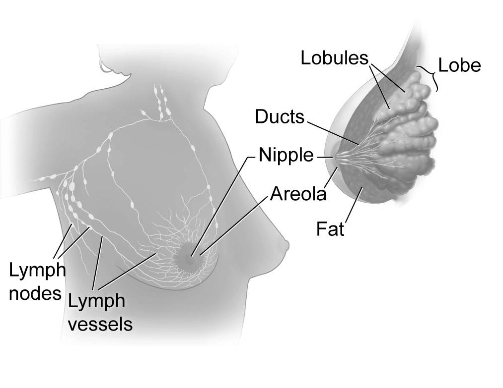 File:Breast anatomy.jpg - Wikimedia Commons