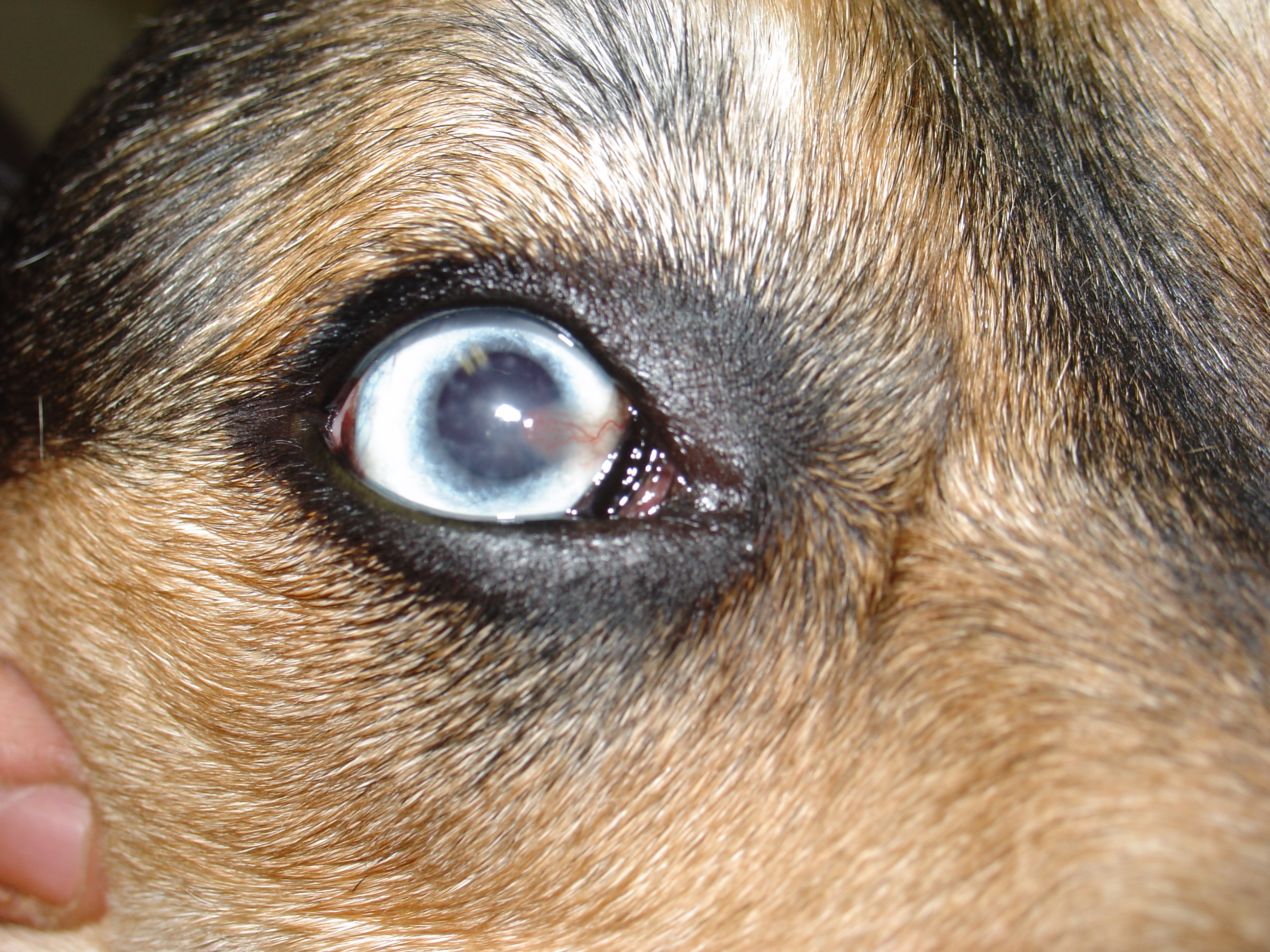 My Dogs Eye Is Bloodshot And Weeping
