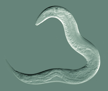 Caenorhabditis elegans. (Photo: Bob Goldstein)