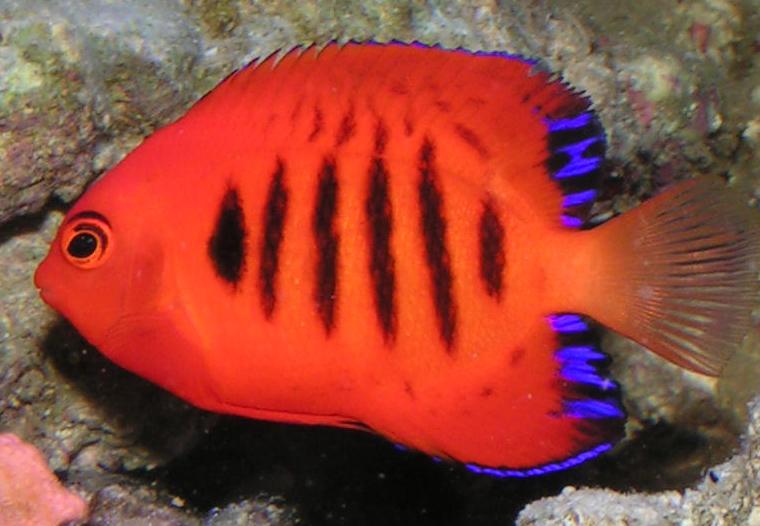 centropyge loricula flame angelfish holacanthus loriculus