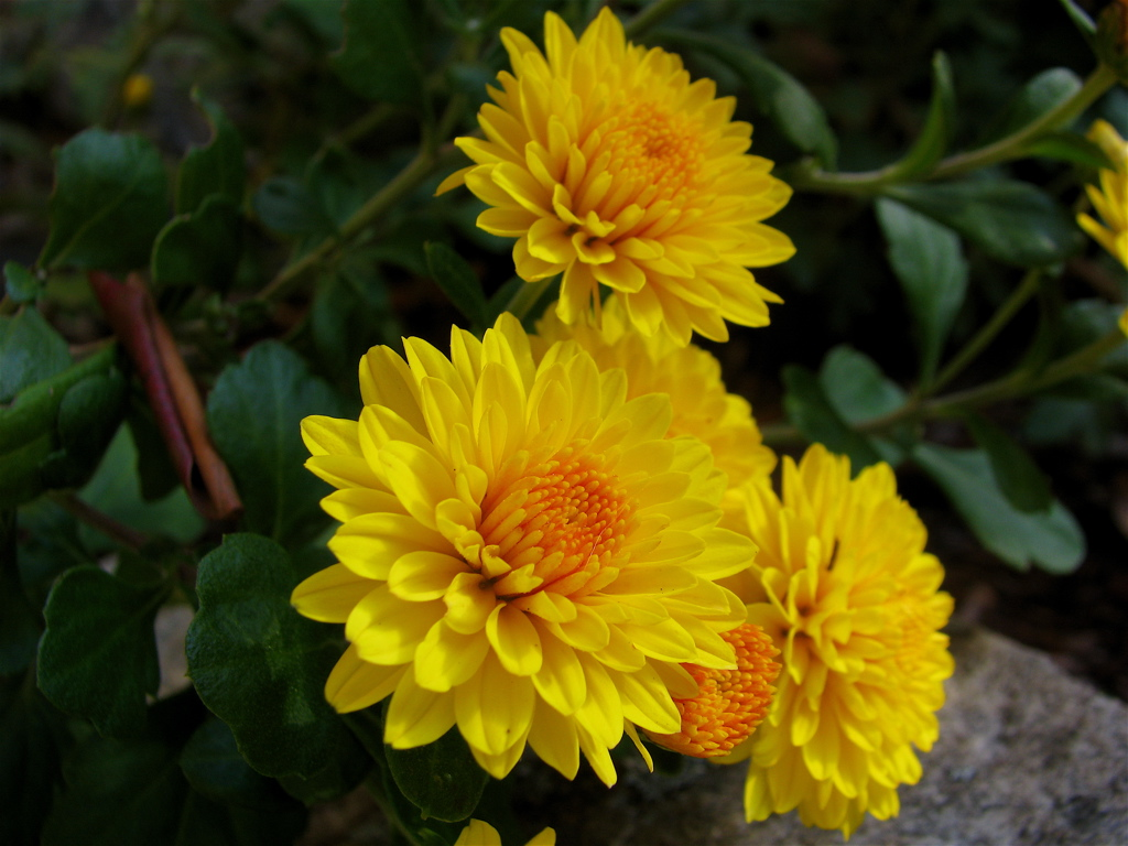 An analysis of the topic of chrysanthemums