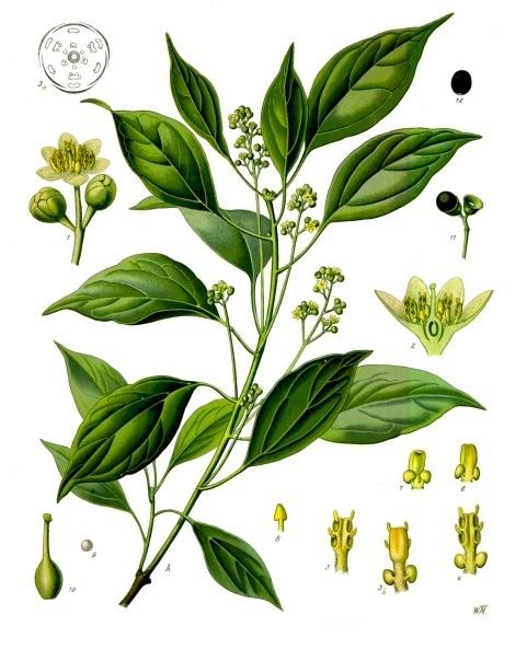പ്രമാണം:Cinnamomum camphora - Köhler–s Medizinal-Pflanzen-181.jpg
