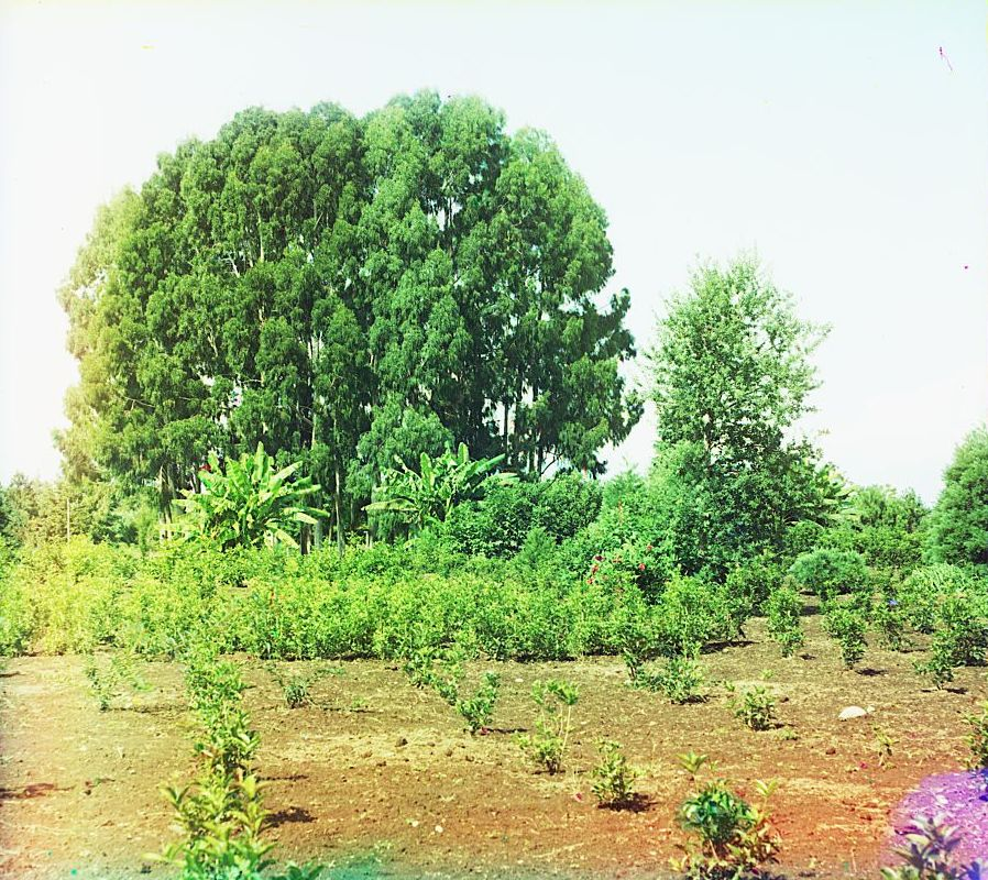 Cluster of eucalyptus trees and Olea fragrans (sweet olive) plantation in Chakva.jpg