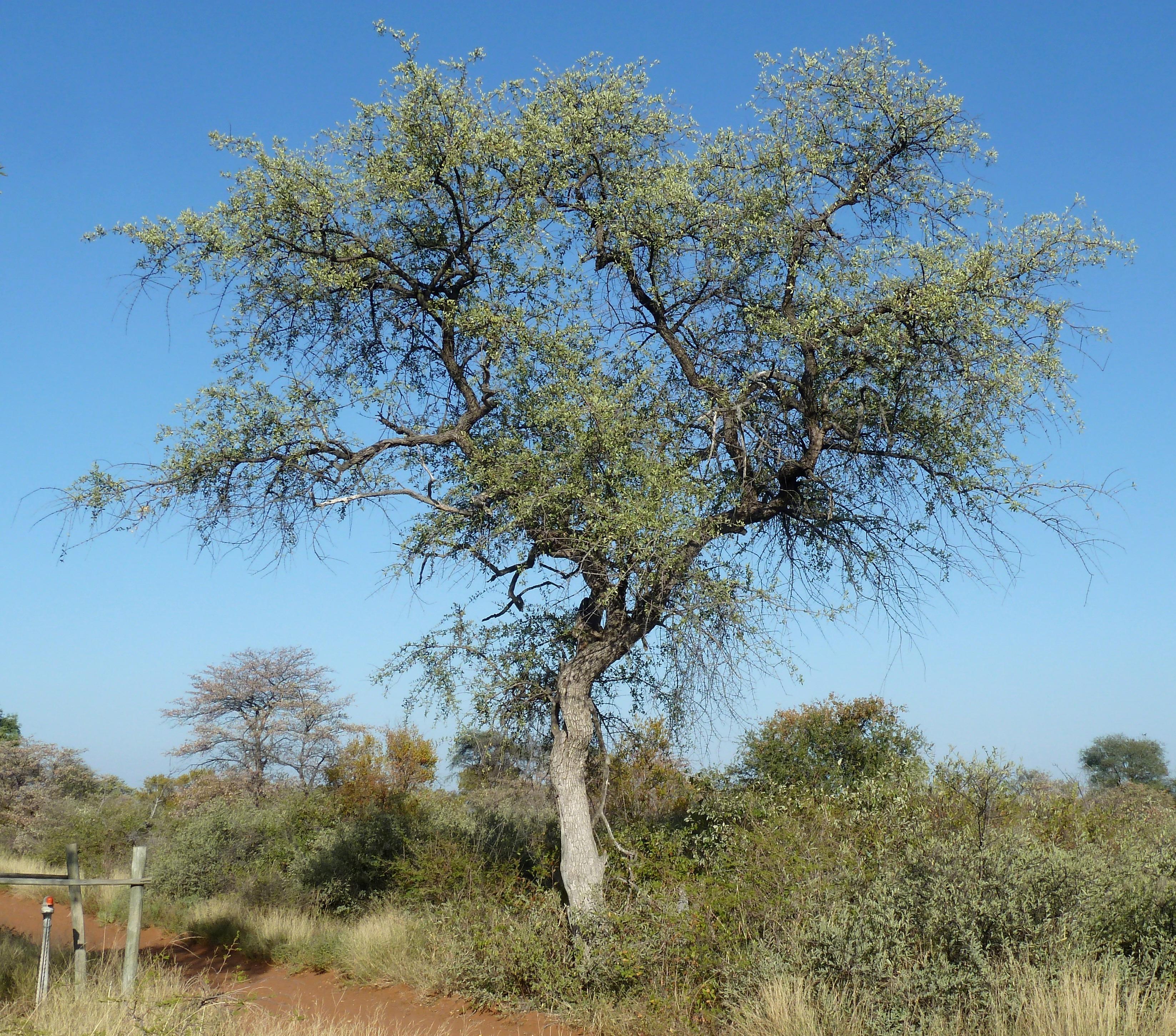 File:Combretum imberbe, habitus, Steenbokpan.jpg ...