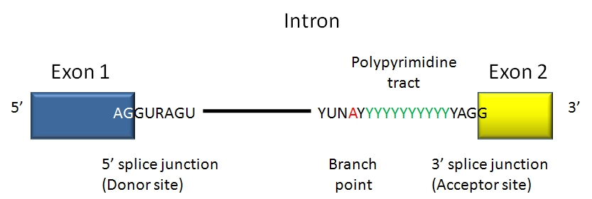 how to find intron exon boundaries