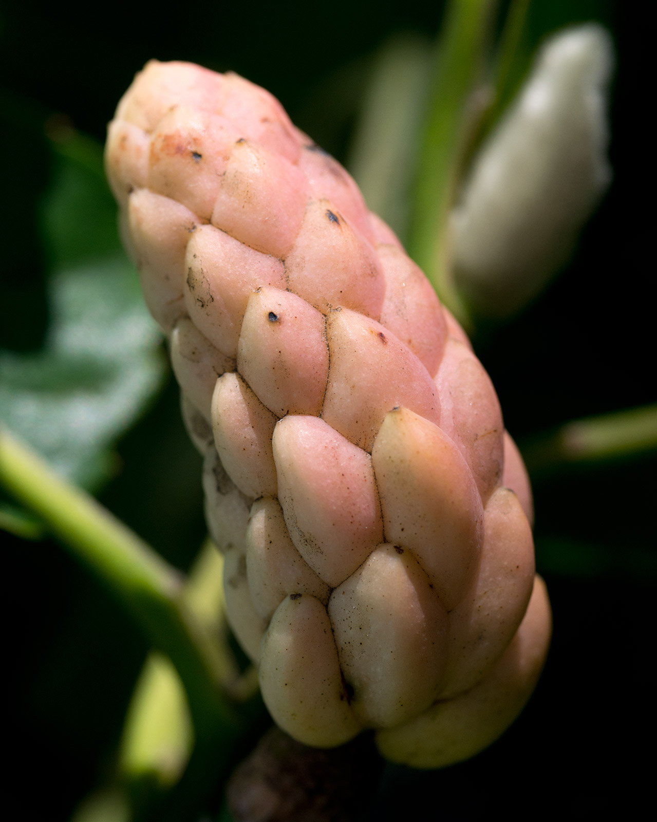 Filecucumbertree Magnolia Acuminata 28442933545jpg Wikimedia