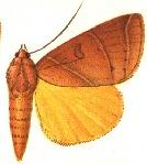 <i>Thyas arcifera</i> Species of moth