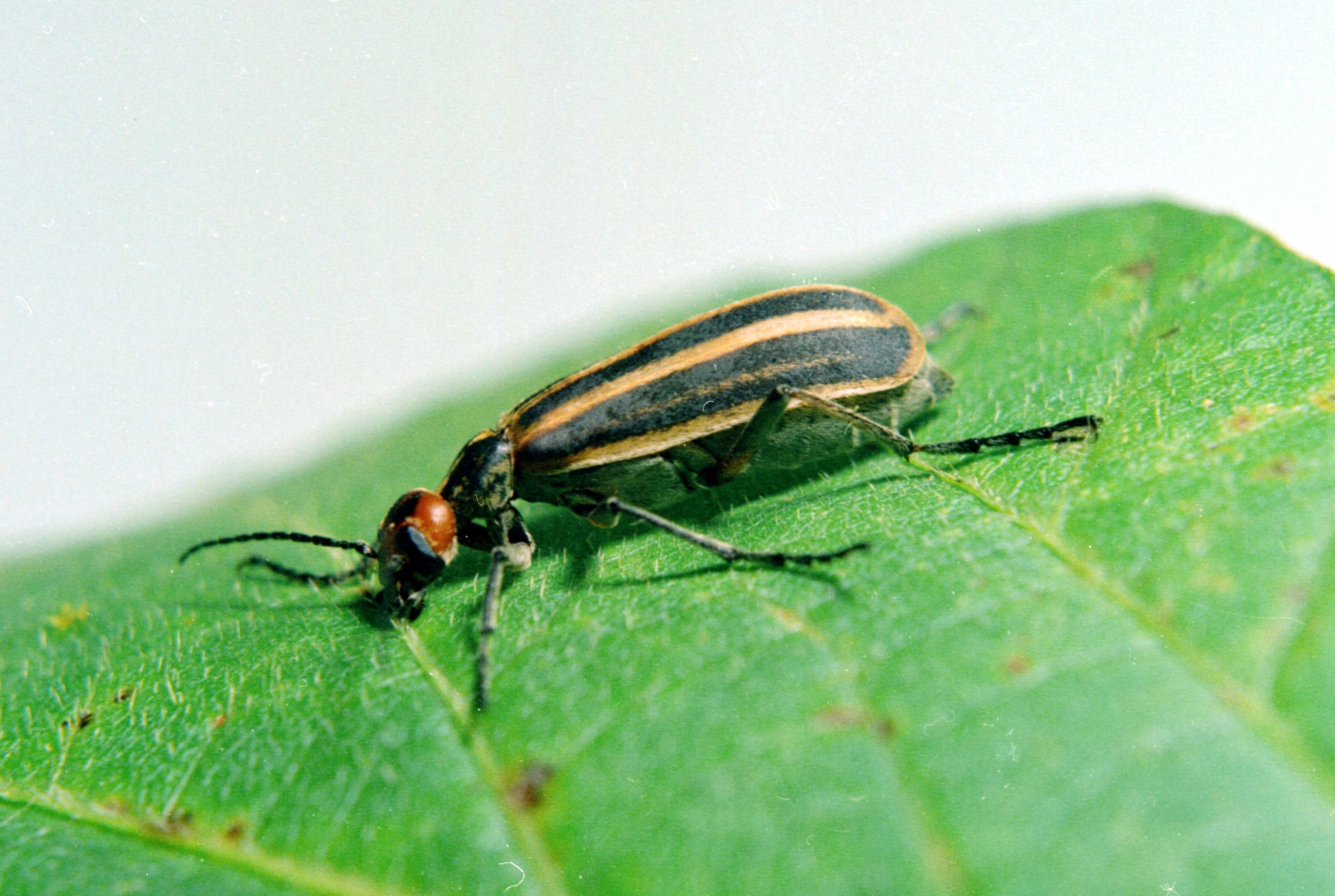 By Clemson University - USDA Cooperative Extension Slide Series, Bugwood.org (crop of File:Epicauta vittata on glycine max.jpg) [CC BY 3.0 (http://creativecommons.org/licenses/by/3.0)], via Wikimedia Commons