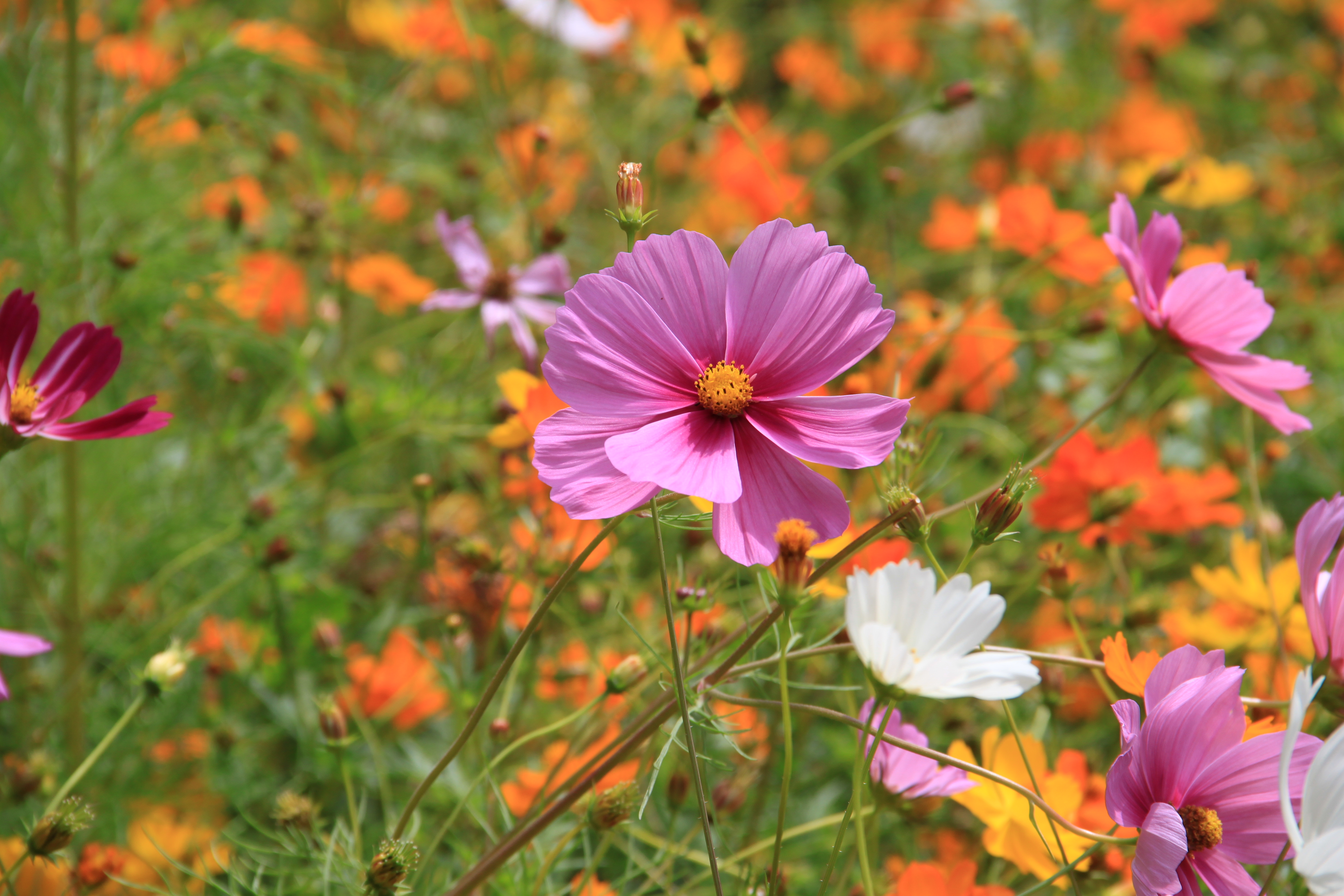 Https Commons Wikimedia Org Wiki File Fleur Violette Prairie Compans Jpg