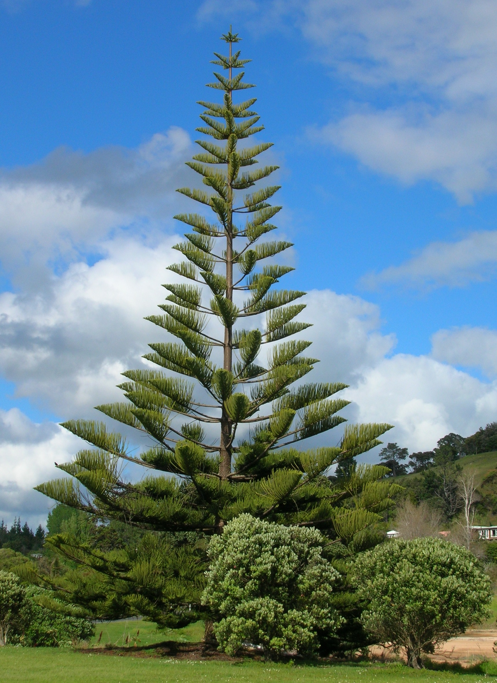 Norfolk Island Pine As House Plant