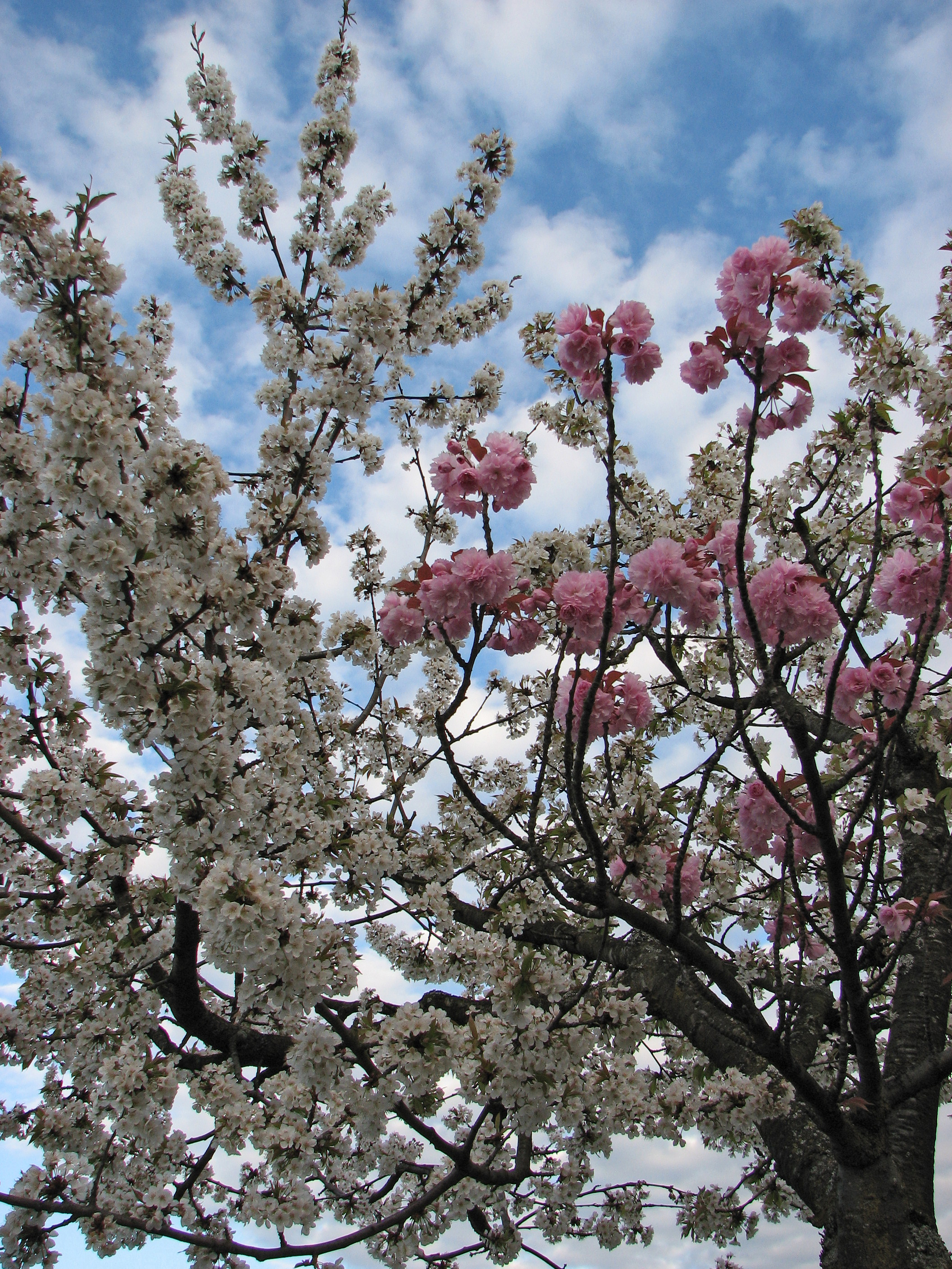 grafted cherry blossom tree