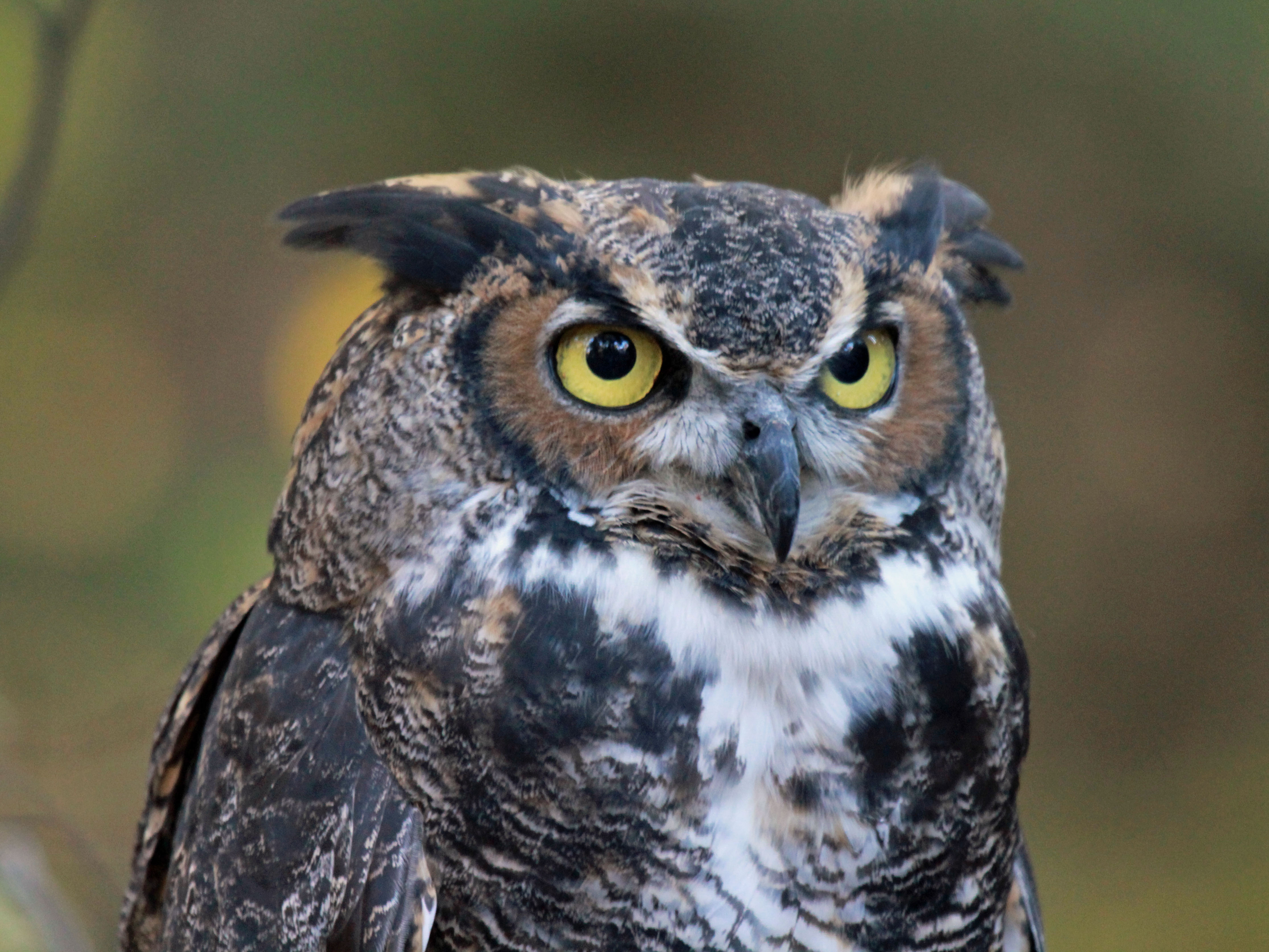 File:Great-horned Owl RWD at CRC1.jpg - Wikimedia Commons