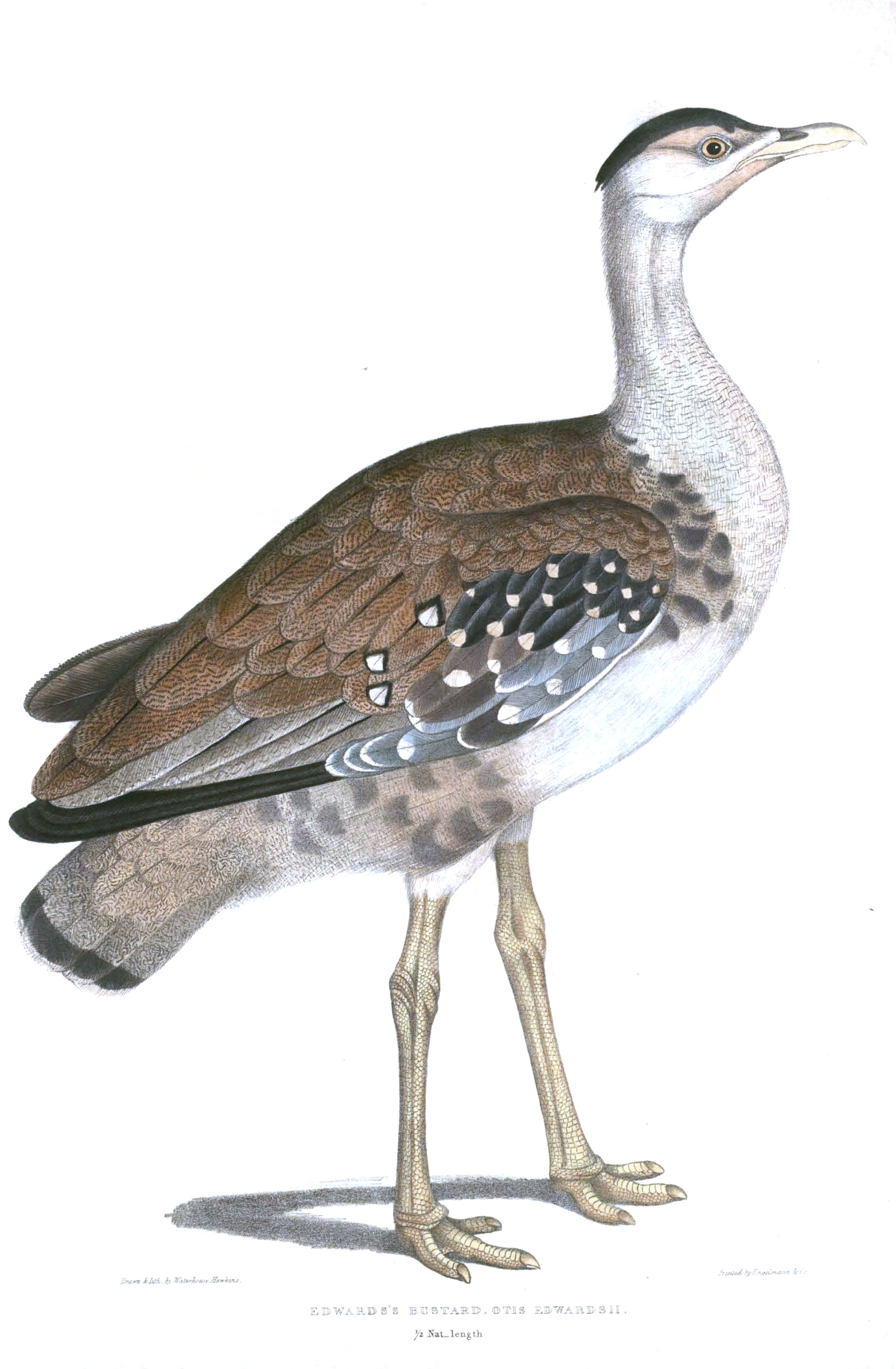 from thomas hardwickes illustrations of indian zoology 18301835