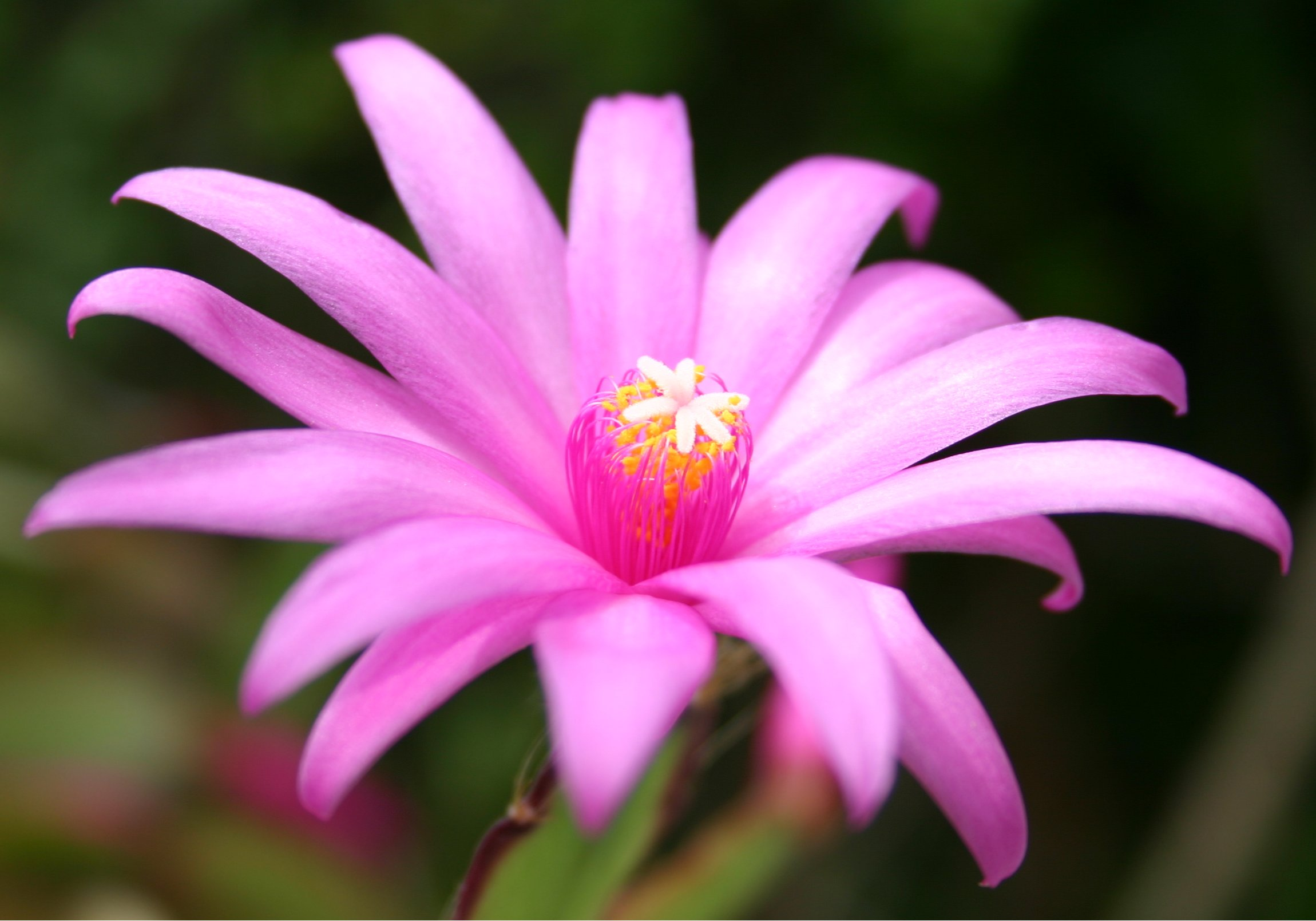 File Hatiora ×graeseri flower Wikimedia mons