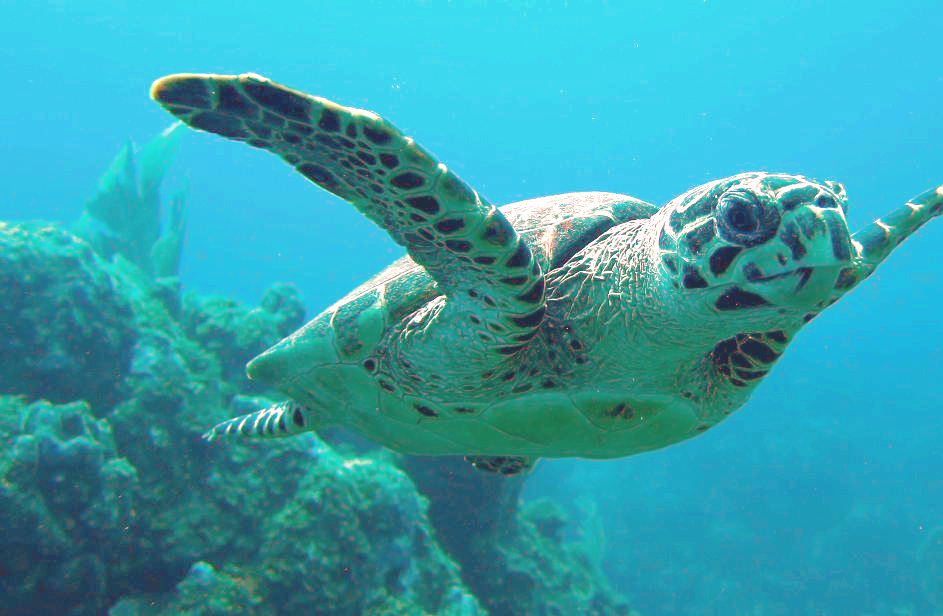 hawksbill sea turtles essay