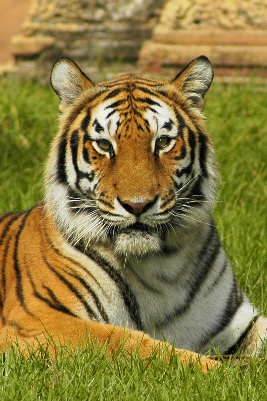 Description India tiger.jpg