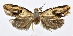 <i>Isodemis hainanensis</i> Species of moth