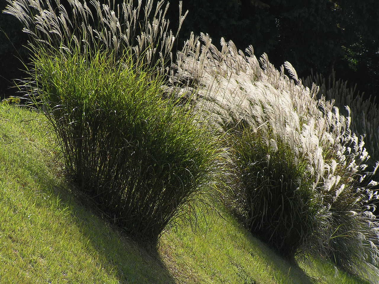 Miscanthus wikiwand for Japanese grass