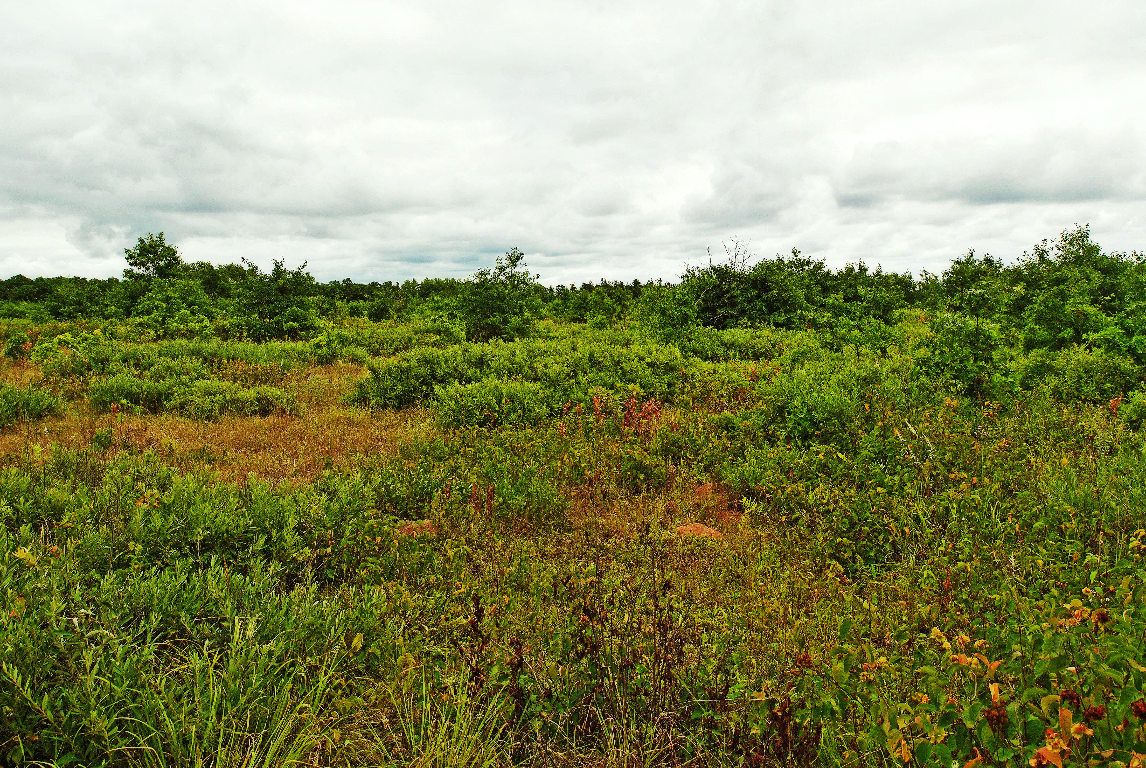 File:Kohler-Peet Barrens and Cedar Swamp.jpg - Wikimedia Commons