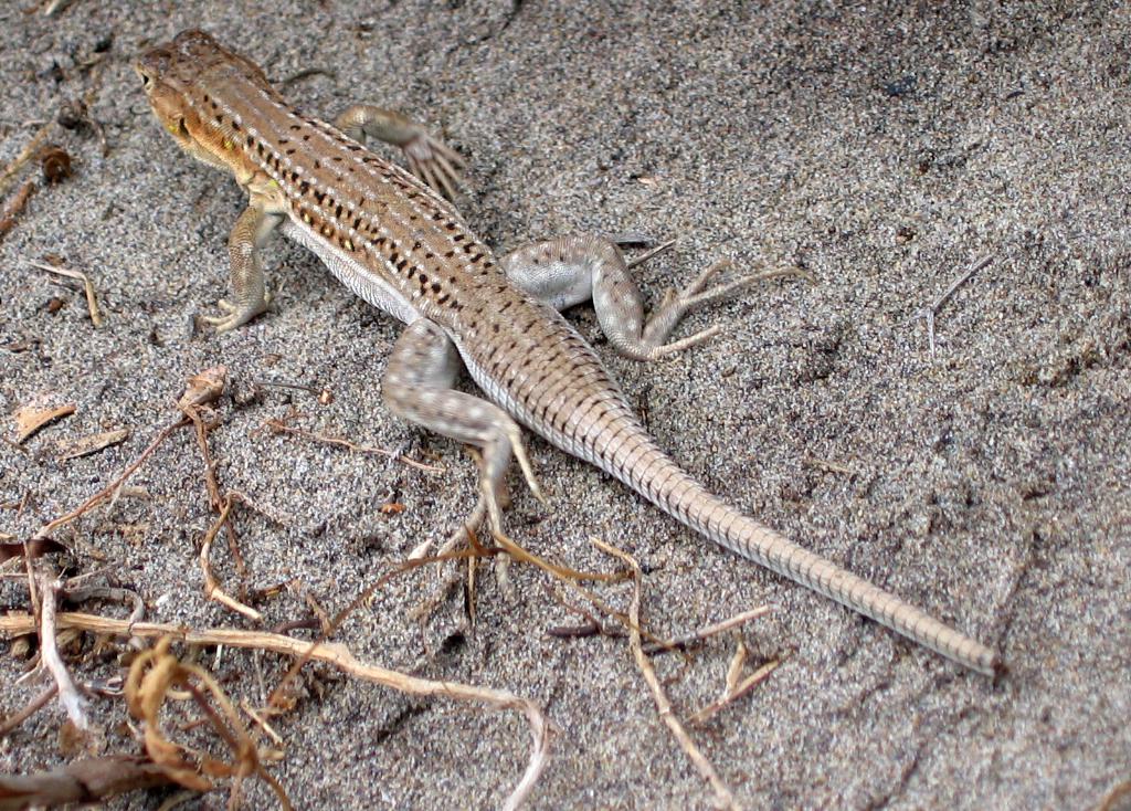File:Lagartija colirroja 001 - Cabo de Gata (Acanthodactylus ...