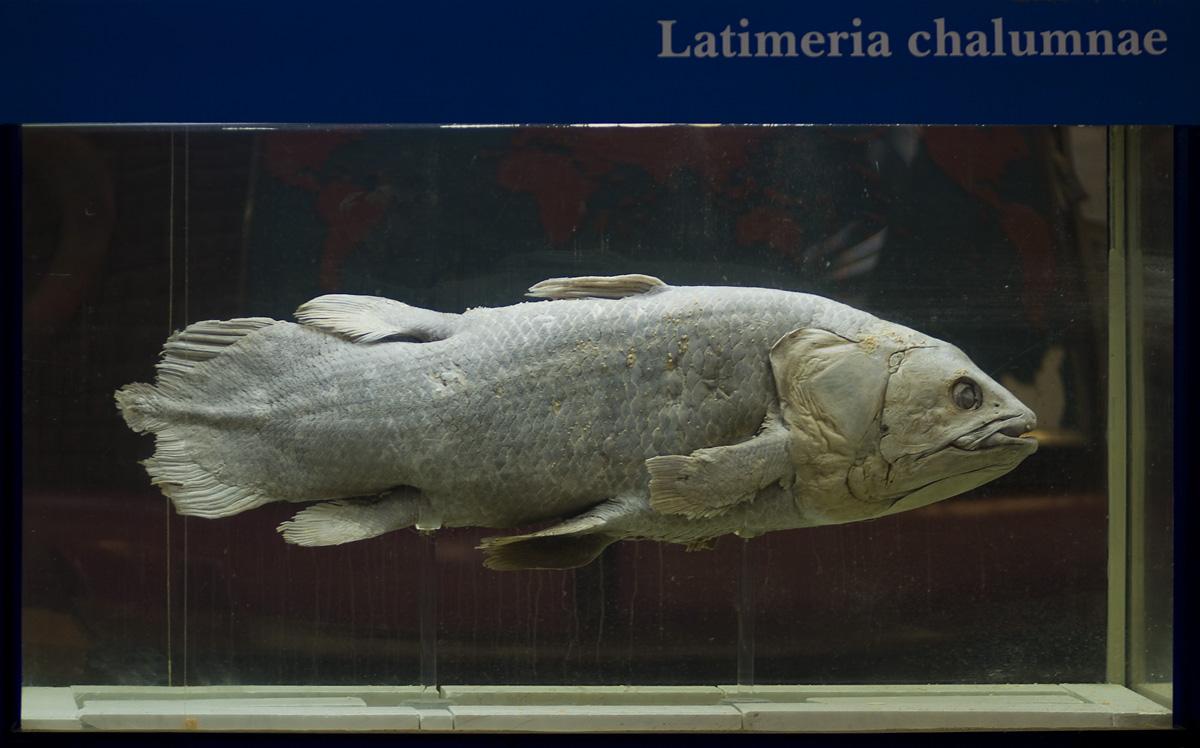 Живая ископаемая рыба: целакант или латимерия:кистеперая.