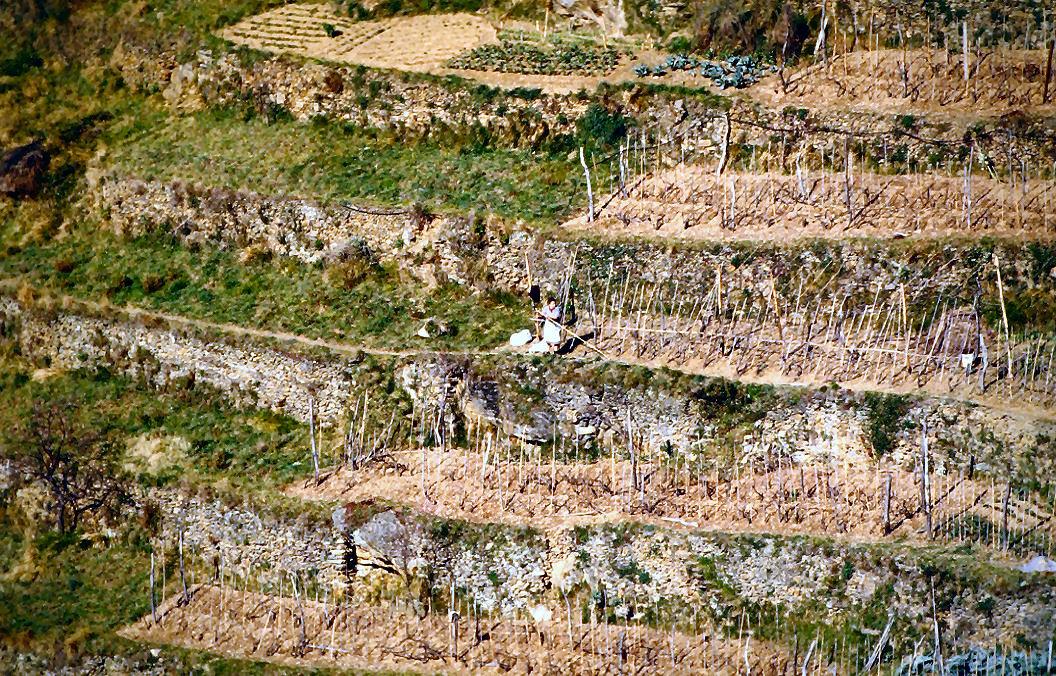 File:Lavora nella vigna delle Cinque Terre.jpg - Wikimedia Commons