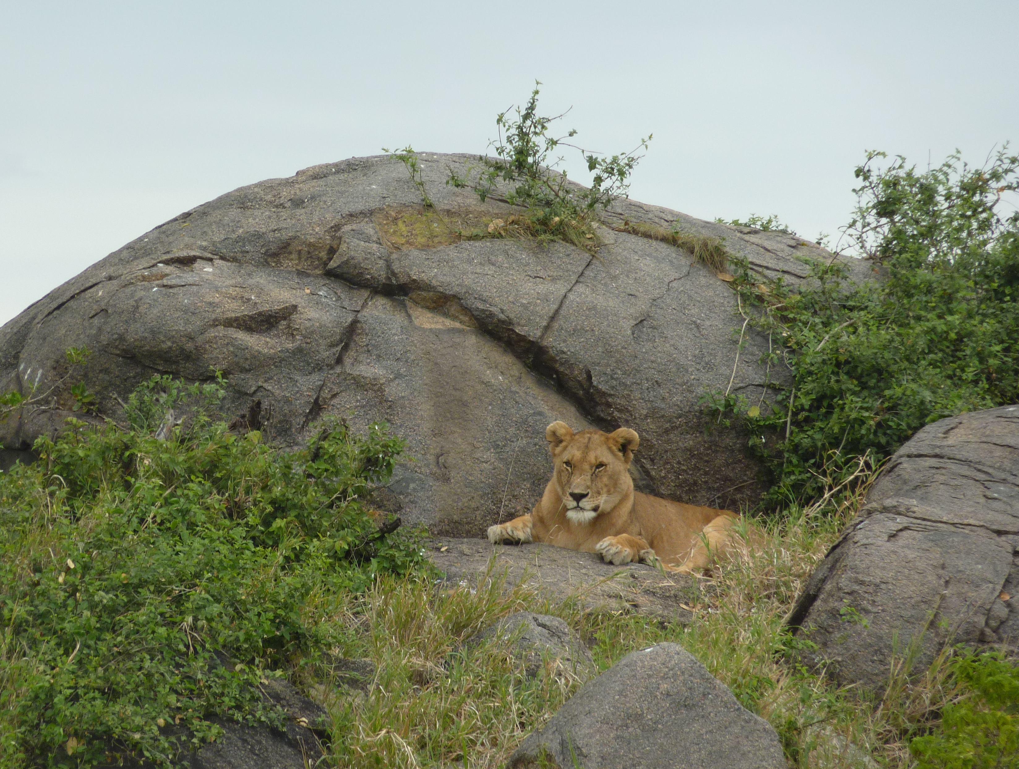 File:Lioness on rocks in Serengeti National Park, Tanzania ...