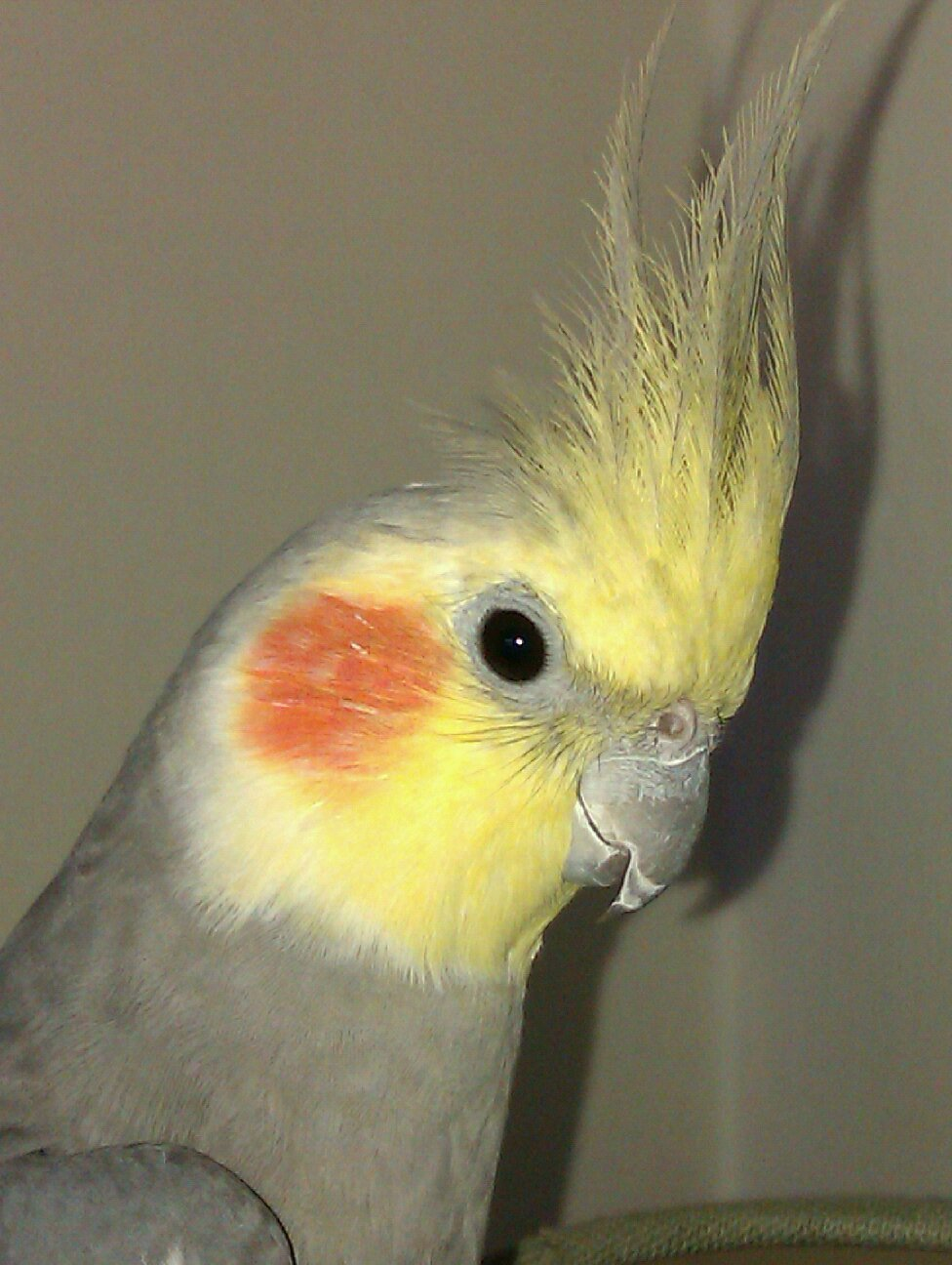 Cockatiels are very popular, intelligent companion birds.