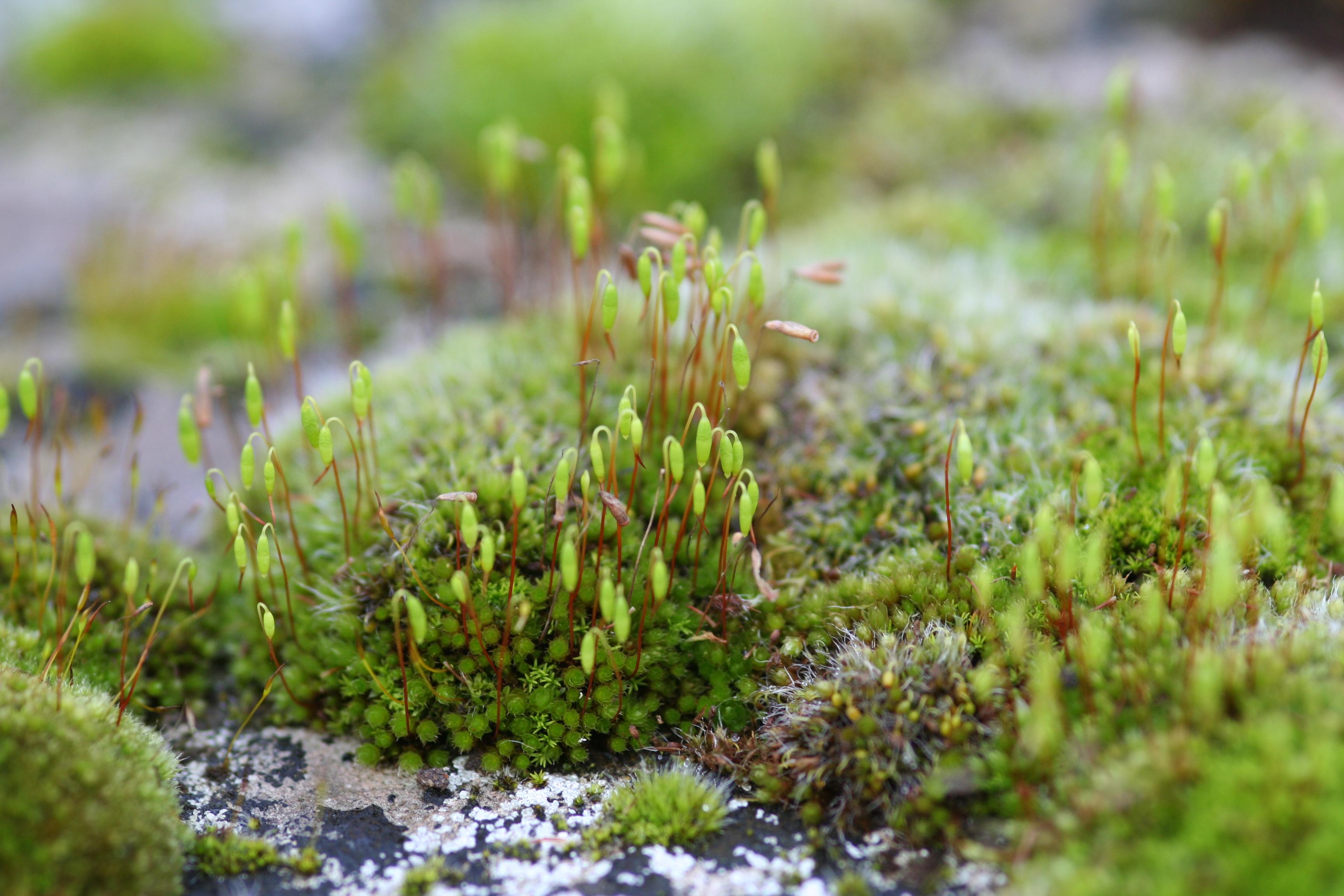 Marchantiophyta - Wikipedia