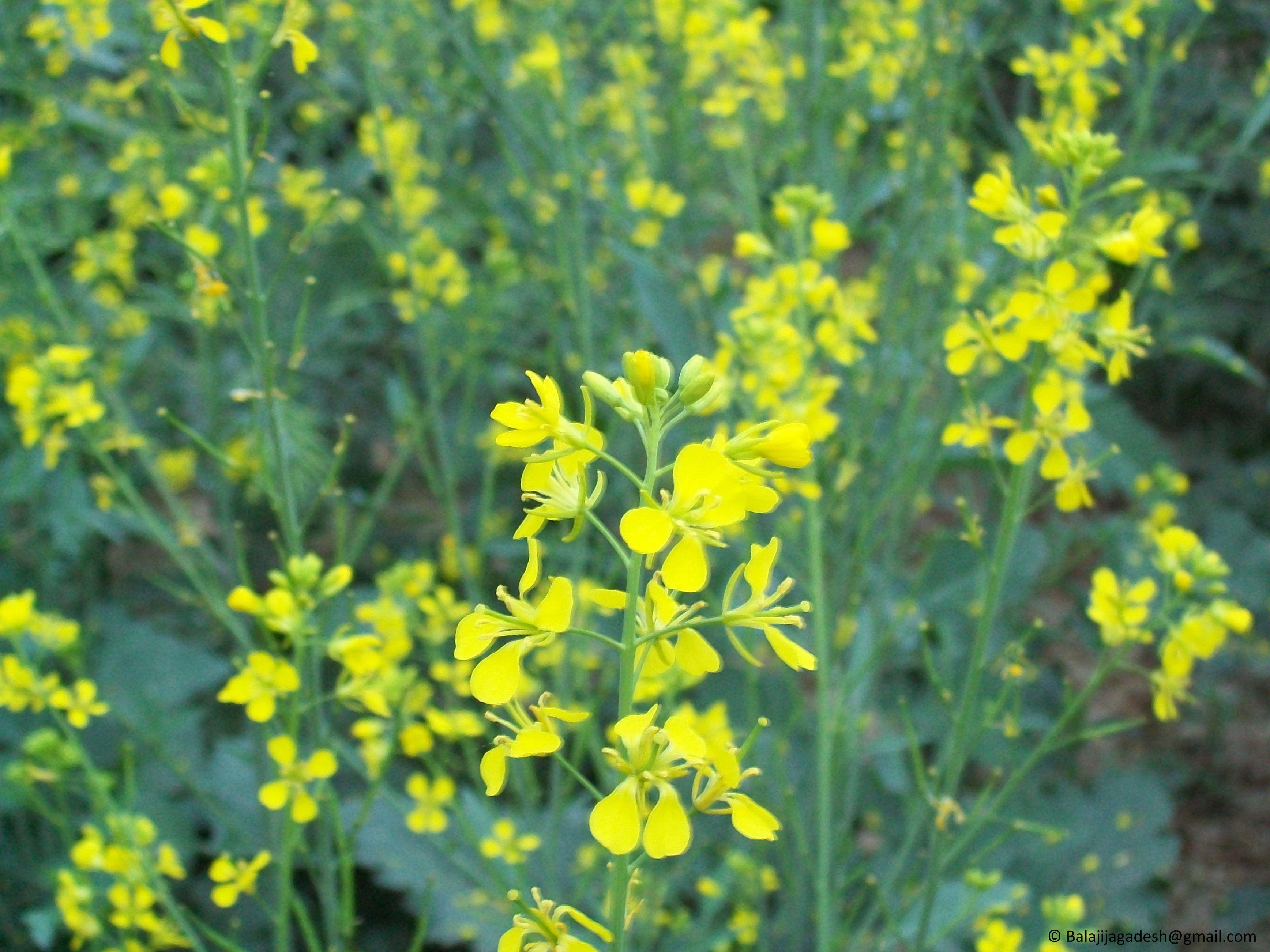 капуста с жёлтыми цветочками