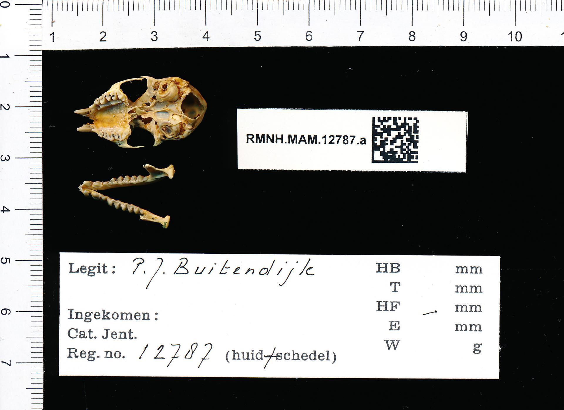 Naturalis_Biodiversity_Center_-_RMNH.MAM