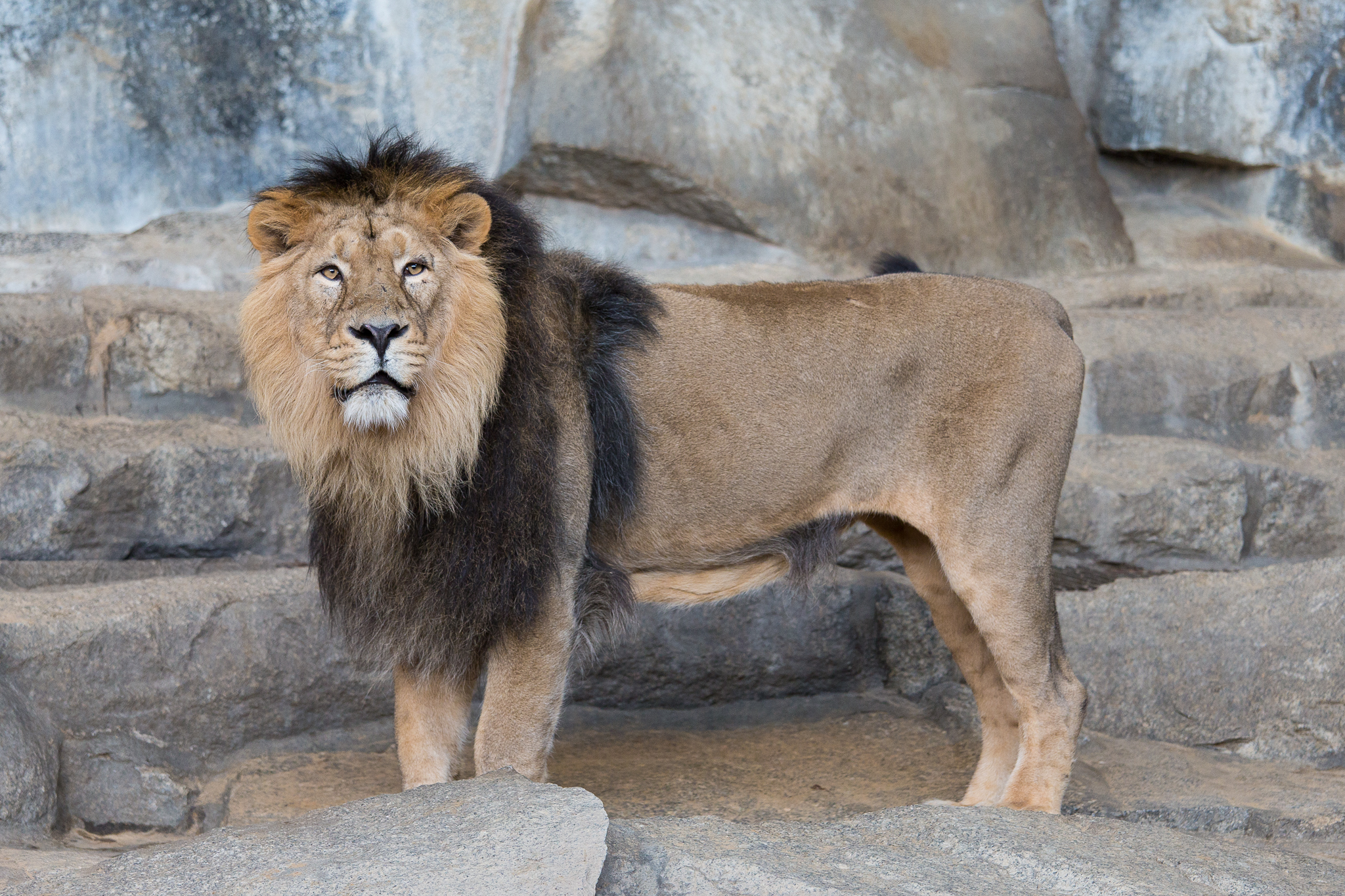Panthera leo persica - photo#53