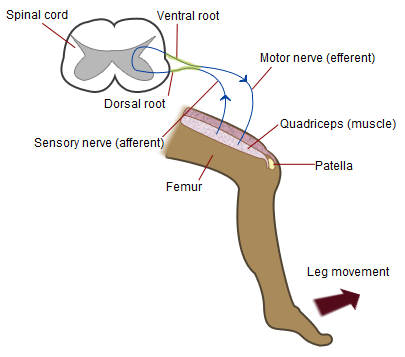 Patellar reflex - Wikipedia