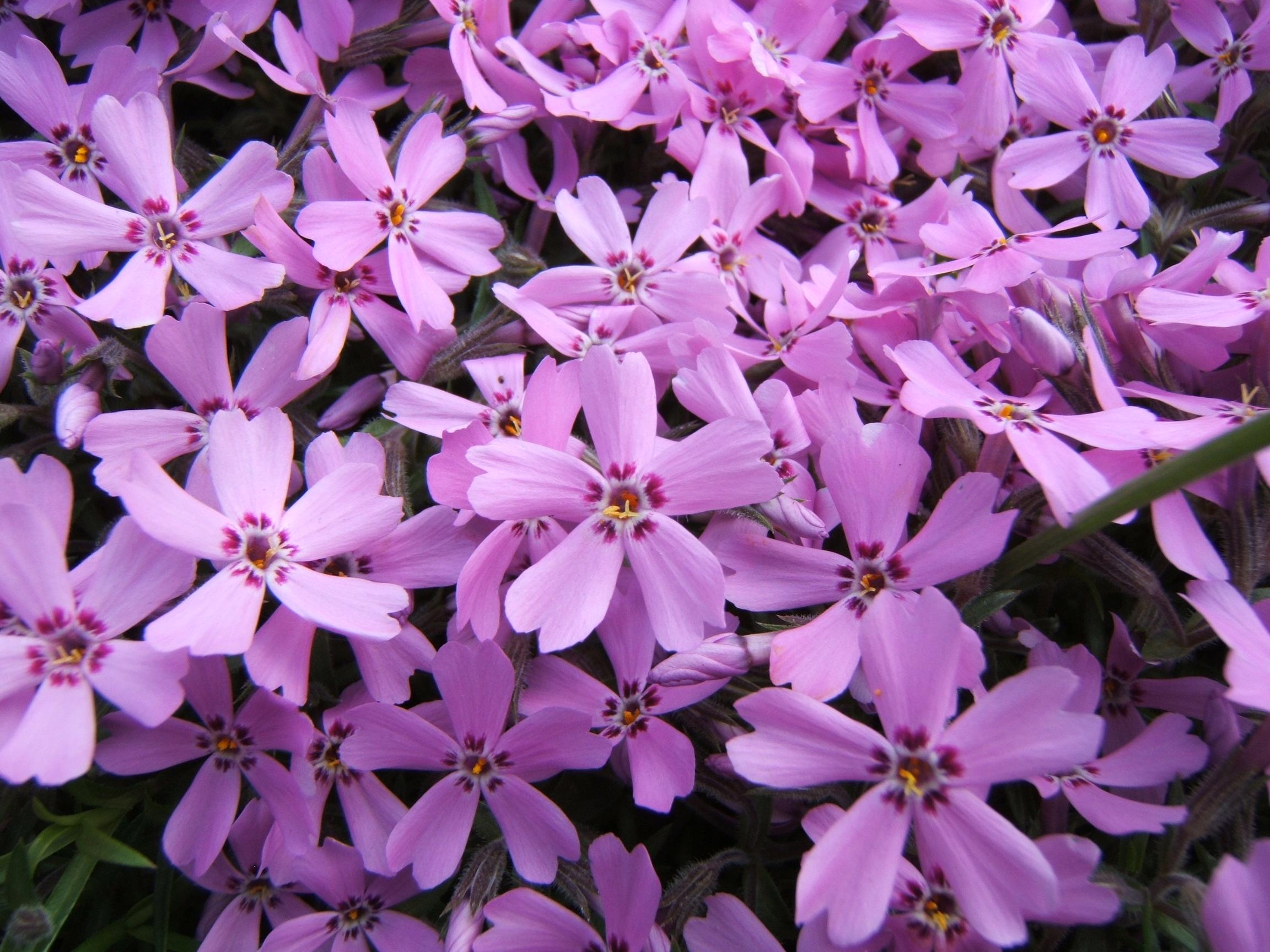 file phlox subulata flowers. Black Bedroom Furniture Sets. Home Design Ideas