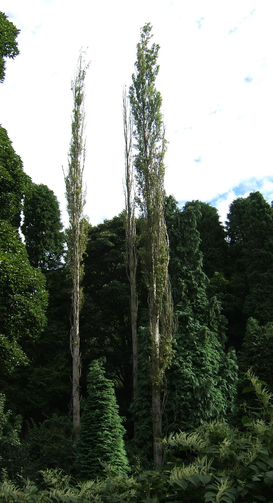 jablan  drvo   u2014 vikipedija  slobodna enciklopedija