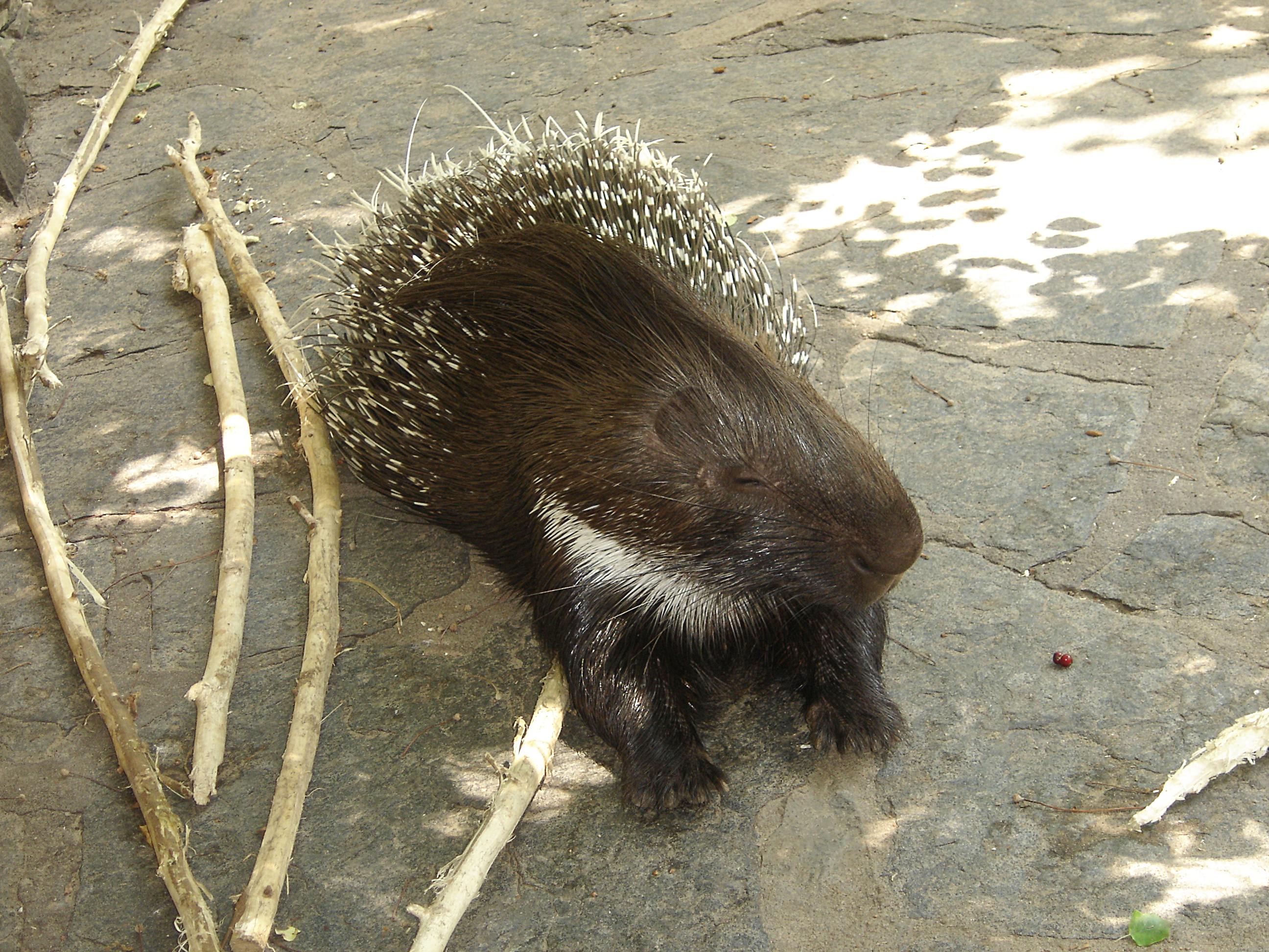 https://upload.wikimedia.org/wikipedia/commons/6/6a/Porcupine_Berlin_Zoo.jpg