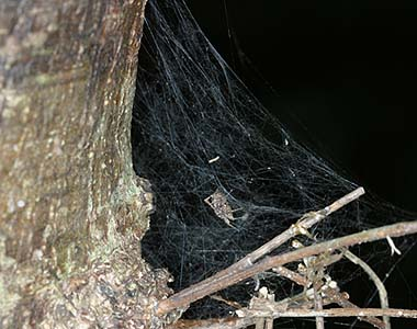 File:Portia.fimbriata.female.in.its.web.-.tanikawa.jpg