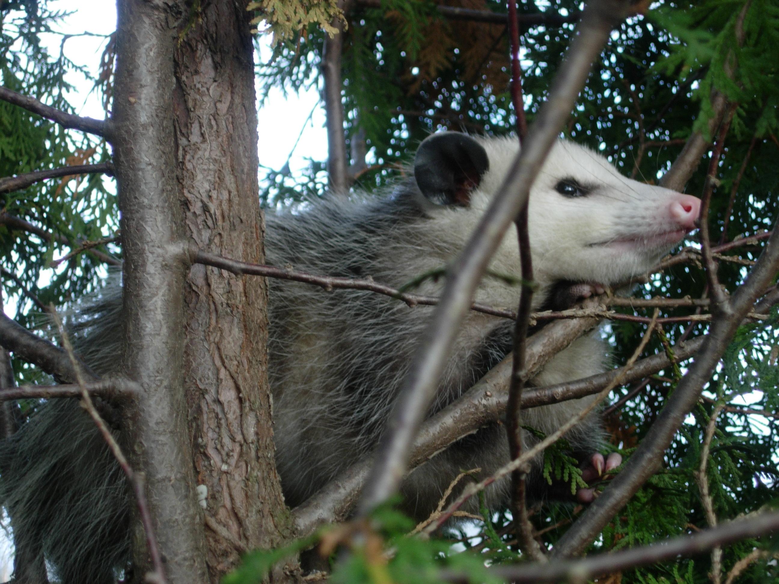 https://upload.wikimedia.org/wikipedia/commons/6/6a/Possum122708.JPG
