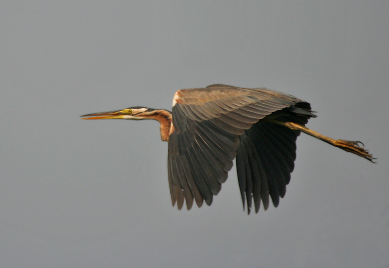 Purple Heron (Ardea purpurea) in Kolkata W IMG 3348