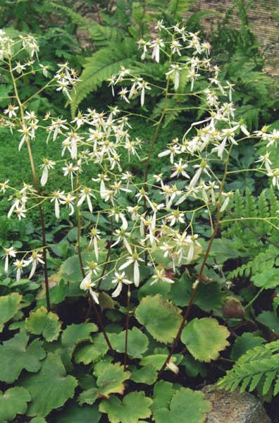 saxifraga cortusifolia var fortuneinvestmentproperties