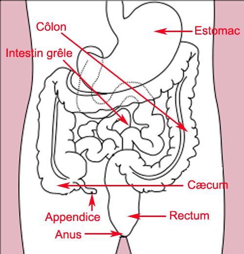 File:Schema intestin.png