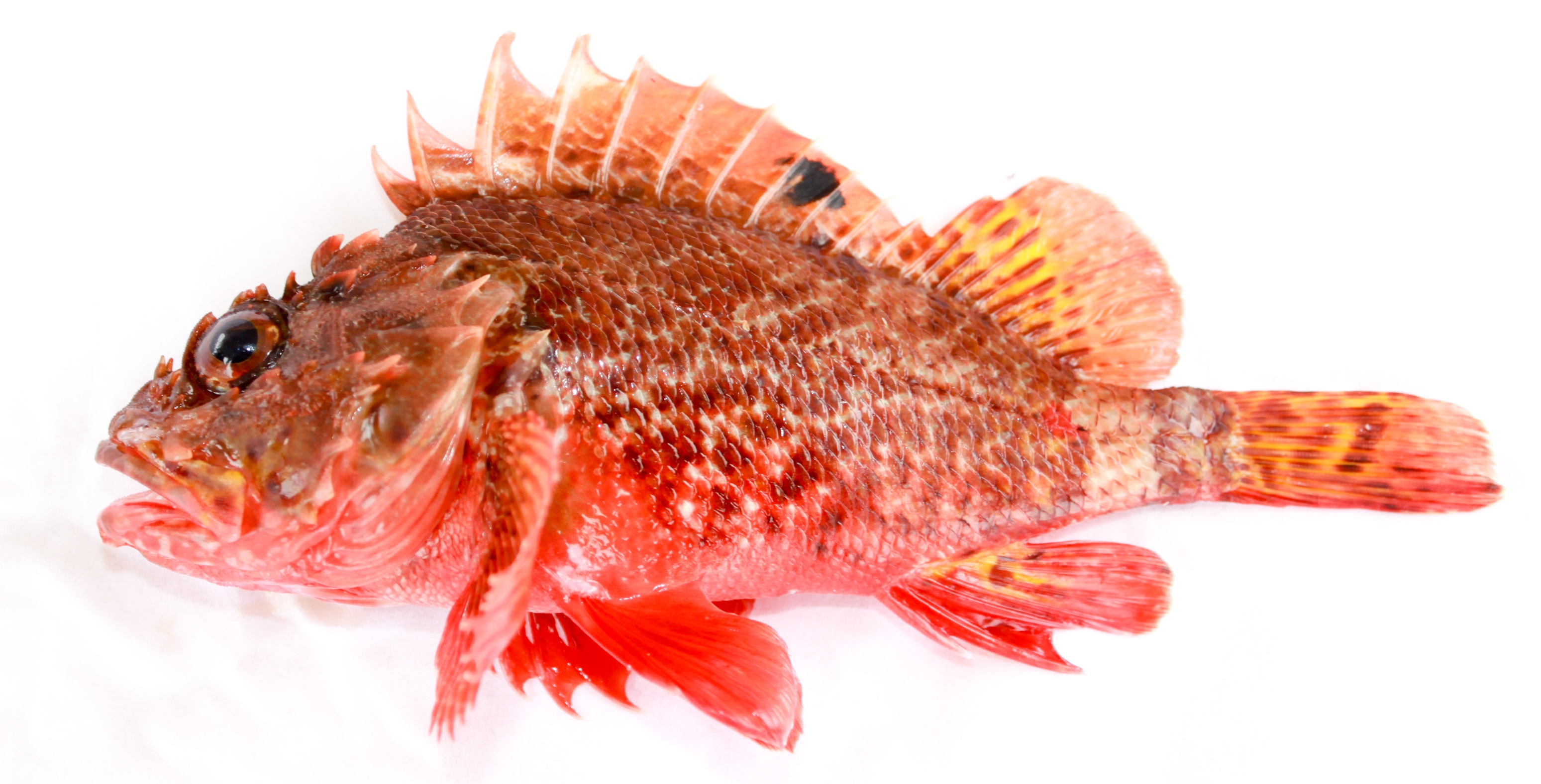 Rock Cod Fish | File Scorpaena Papillosa Schneider Forster 1801 Red Rockcod Or