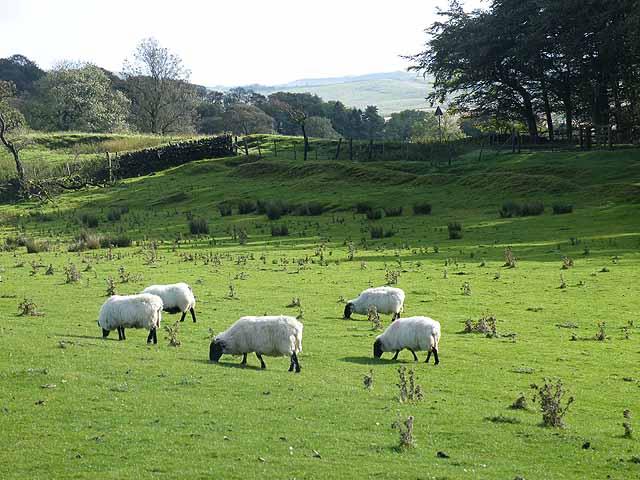 Sheep below Walltown Crags - geograph.org.uk - 1540599