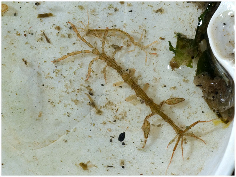 Skeleton Shrimp 1