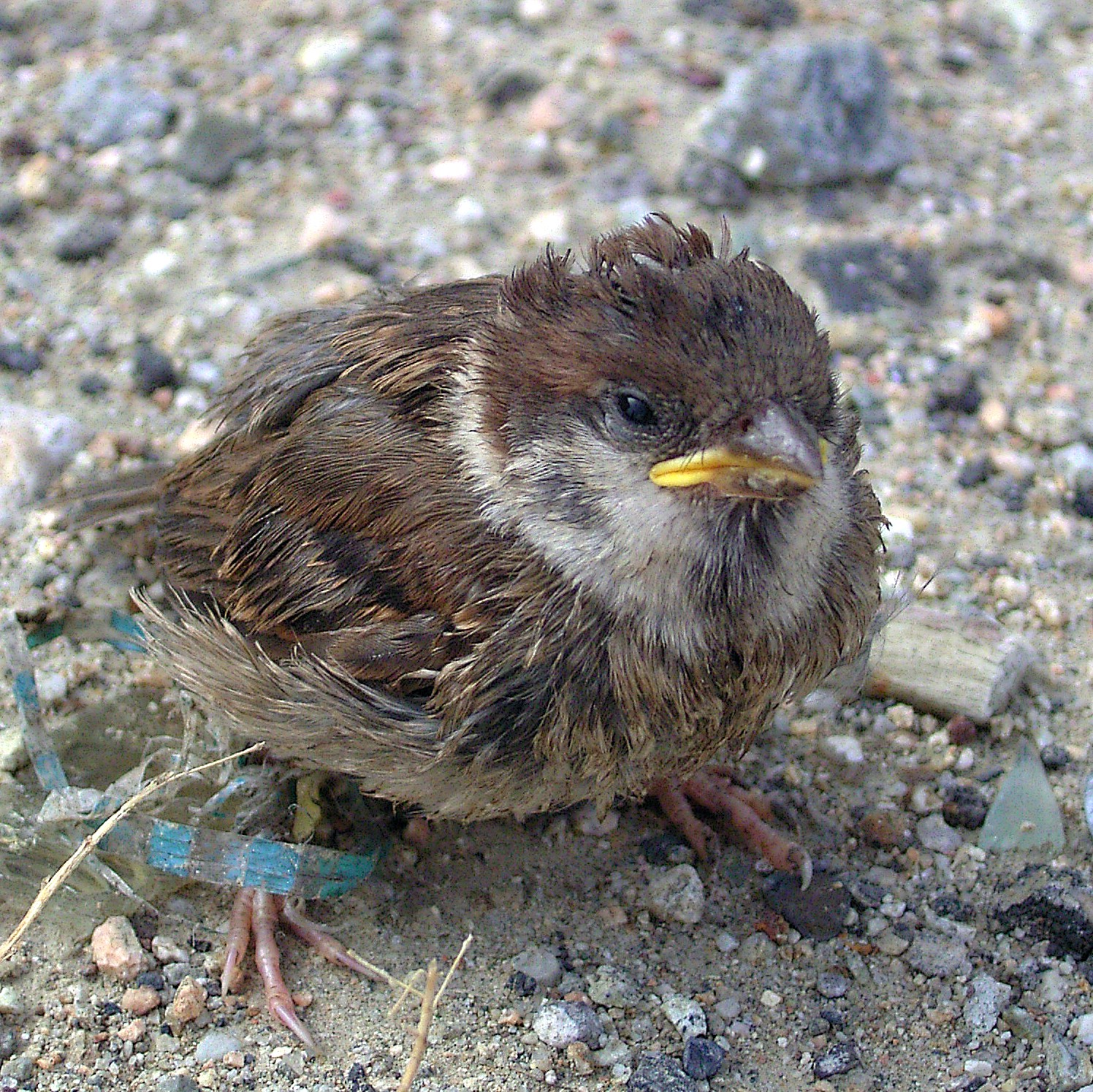 File Sparrow Chick 2 Jpg Wikimedia Commons