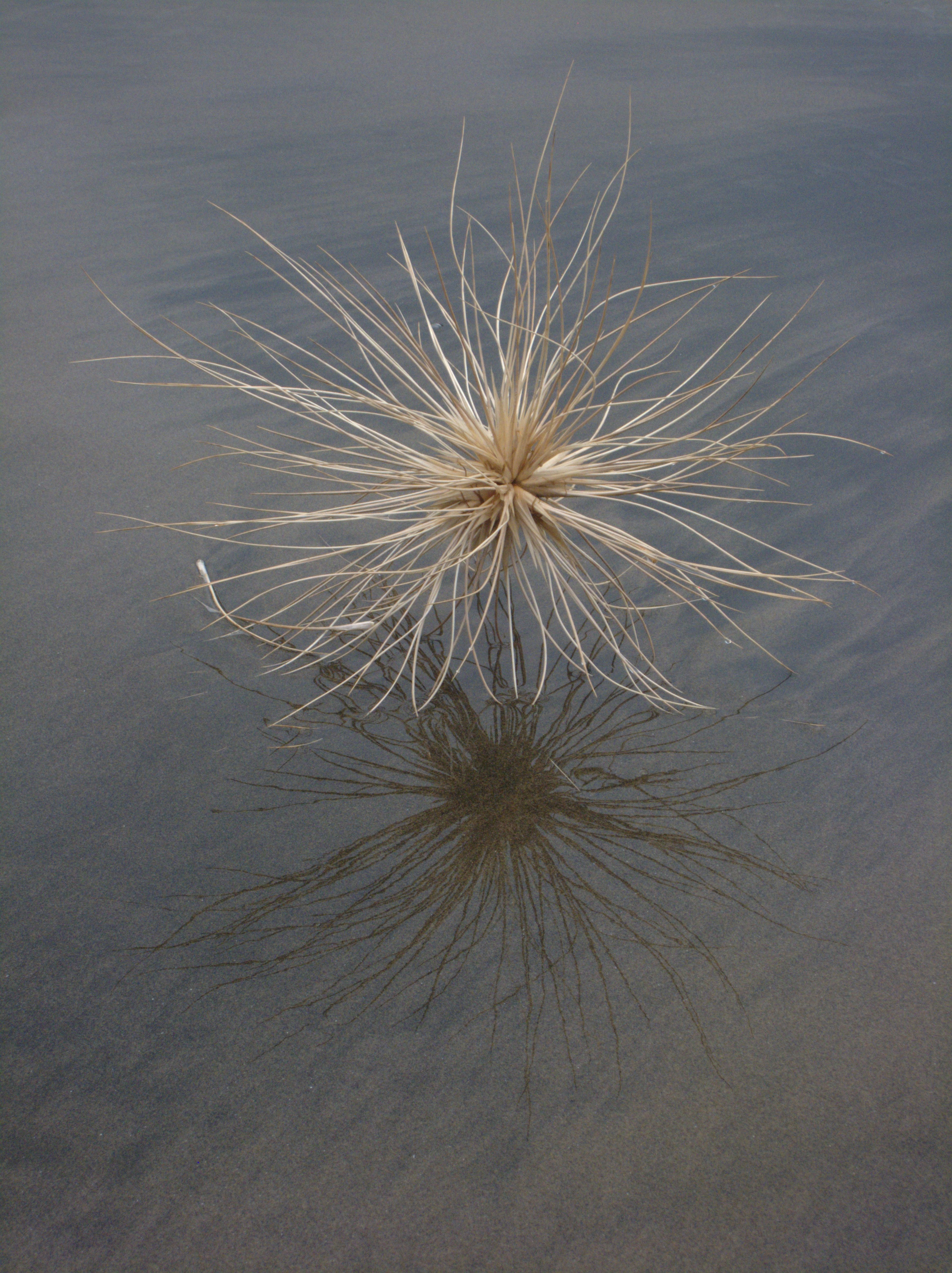 http://upload.wikimedia.org/wikipedia/commons/6/6a/Spinifex_sericeus_seed_head.jpg