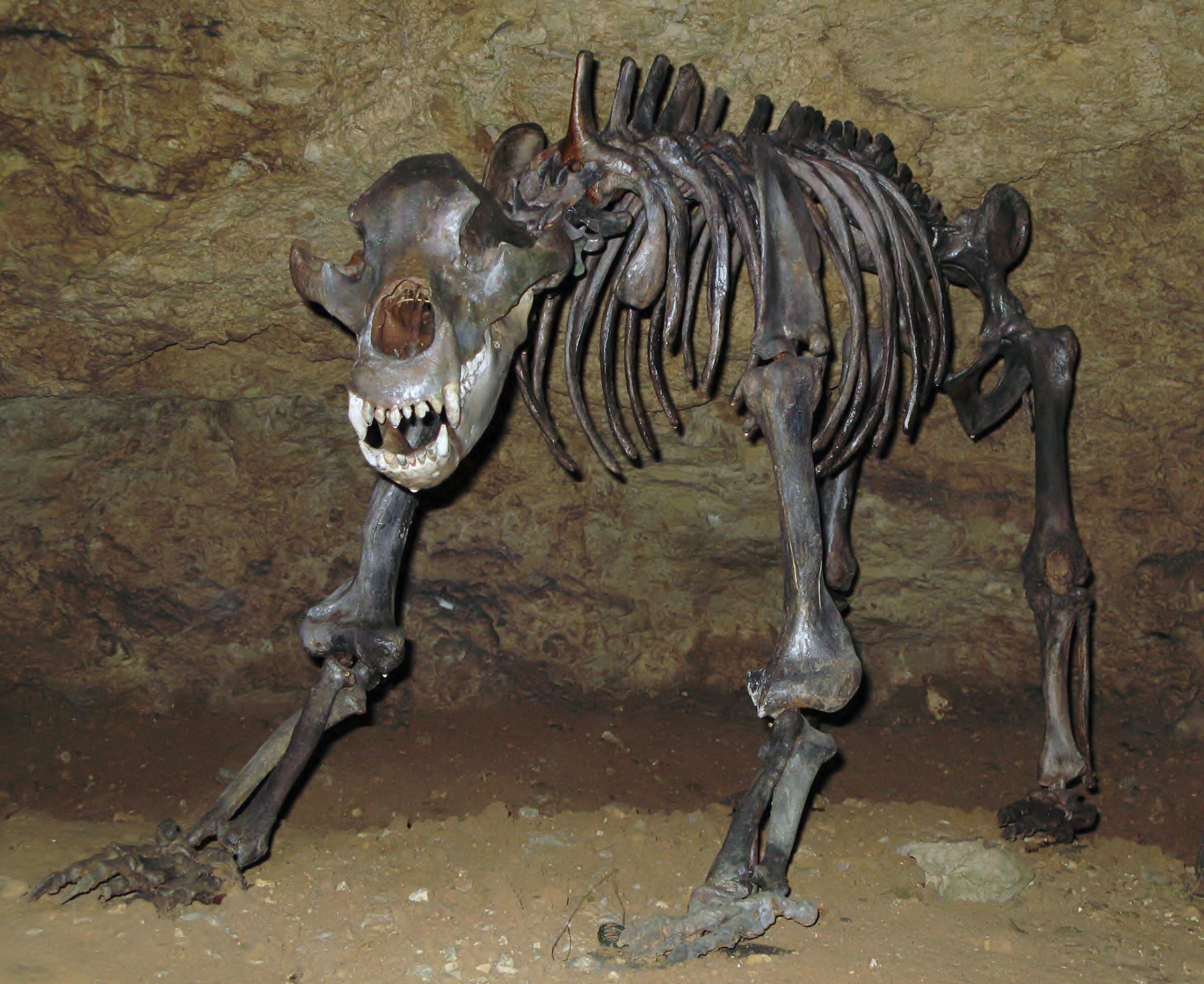 Teufelsh%C3%B6hle H%C3%B6hlenb%C3%A4r Dreiviertelprofil cave bear wikipedia